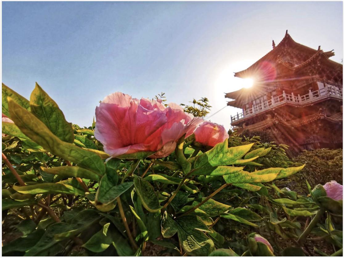 河南洛阳:春满隋唐园 牡丹展笑颜
